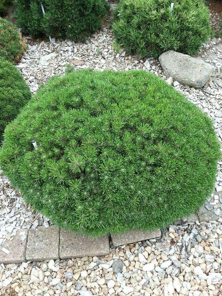 Pinus mugo 'Benjamin ' | Conifers & Rhododendrons | Fast ...