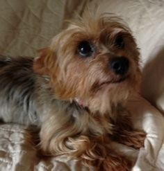 Adopt Cowgirl On Yorkie Terrier