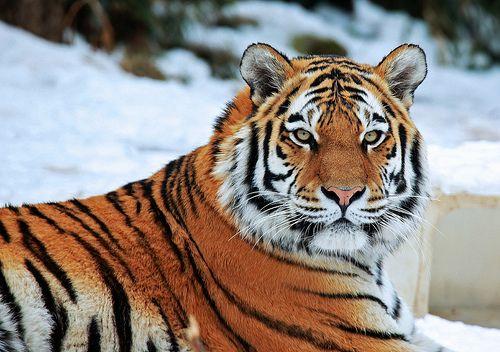 Tiger - http://www.1pic4u.com/blog/2014/10/03/tiger-58/