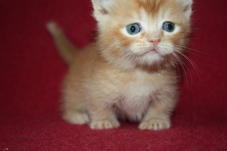teacup orange kitten | Scottish Fold Munchkin | Haha | Cat ...
