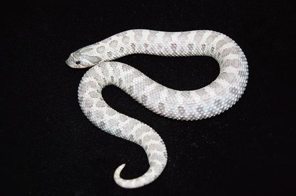 Western Hognose Snake I Do Not Know The Name Of This Morph Hognose Snake Pet Snake Western Hognose Snake