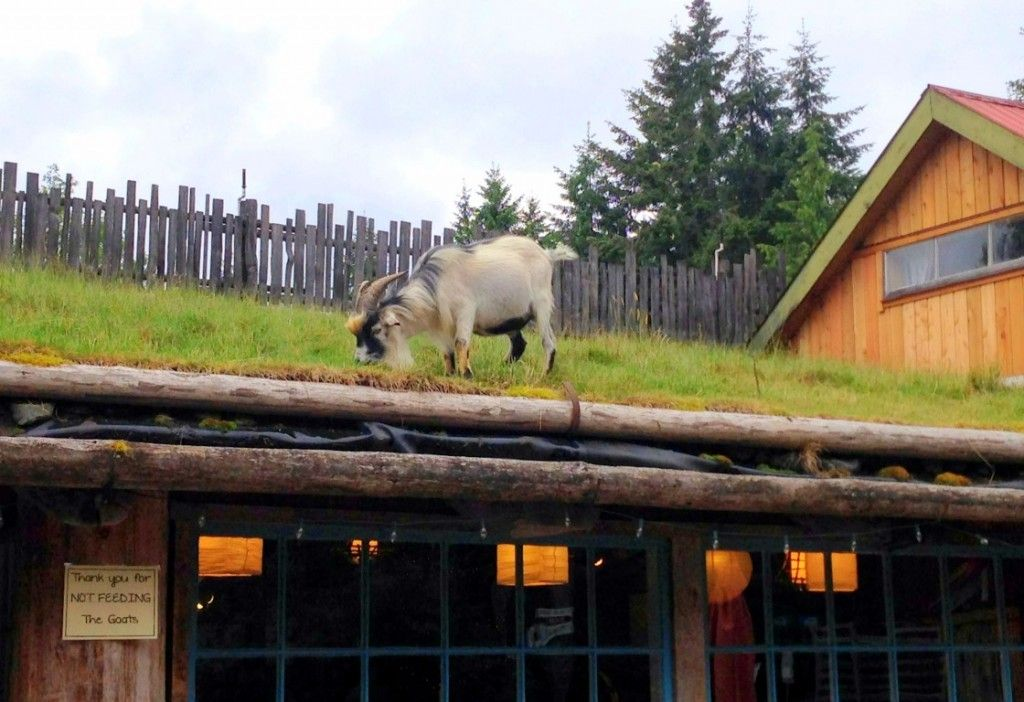 Spotted Goats On The Roof Garden Therapy Travel Vancouver Island Vancouver Island Campbell River Vancouver Island
