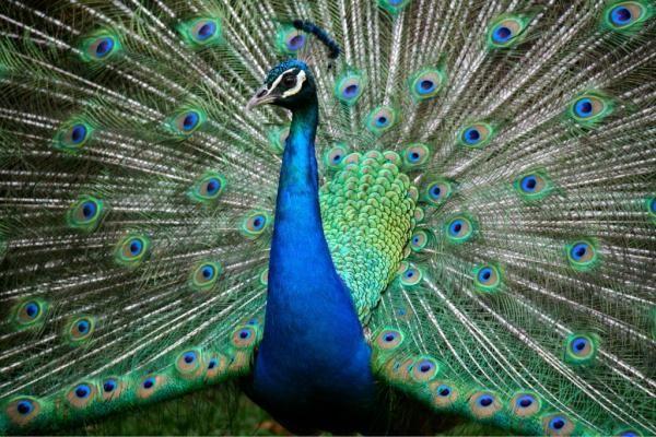 A bright blue peacock #Mashpics