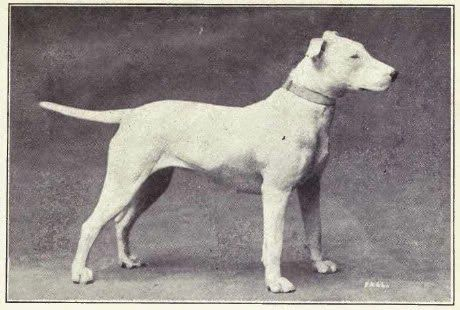 Pedigree Dogs Exposed - The Blog: Bull Terriers: head case