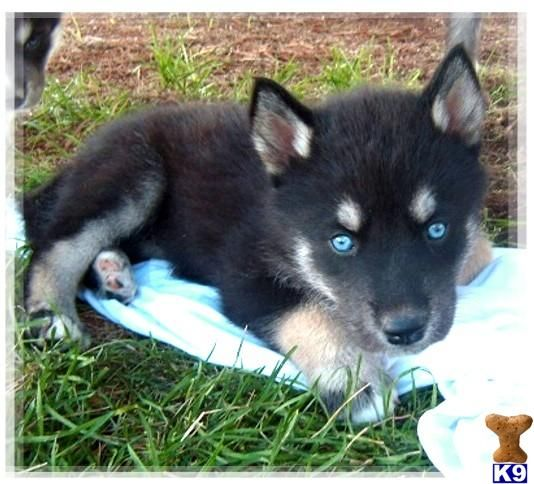 wolf puppies for sale  Check Out Those Beautiful Blue Eyes