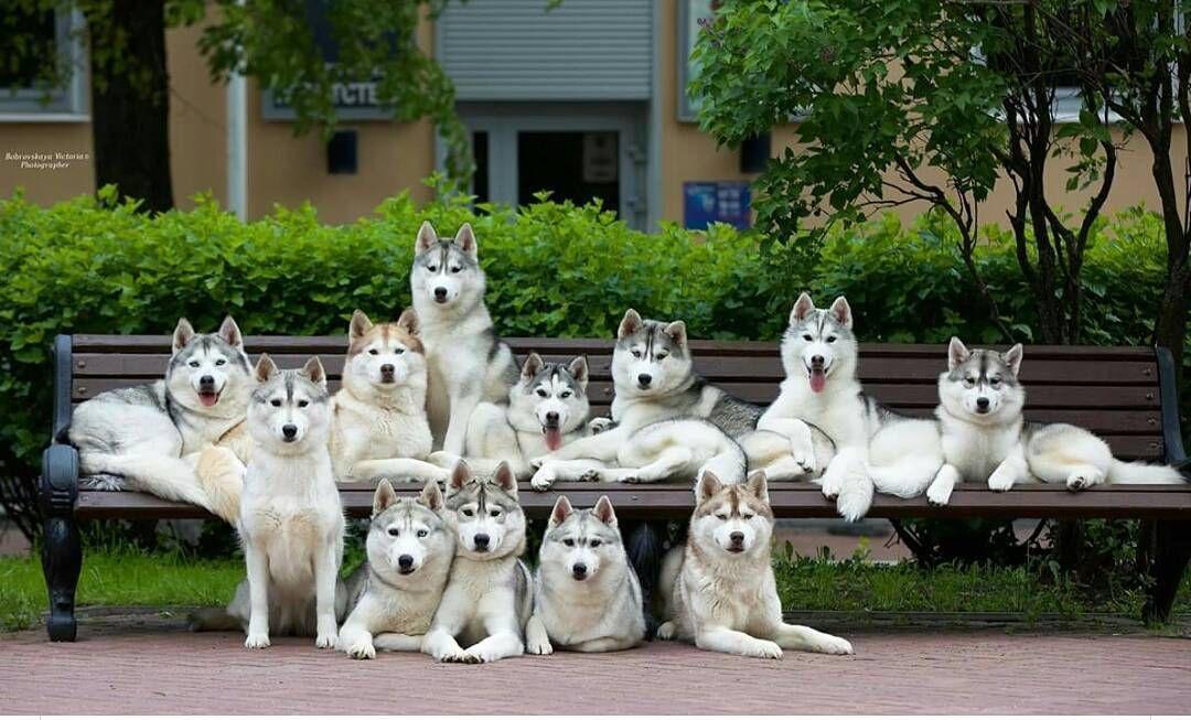 Family Photo Dogs And Pets Siberian Husky Dog Siberian Husky