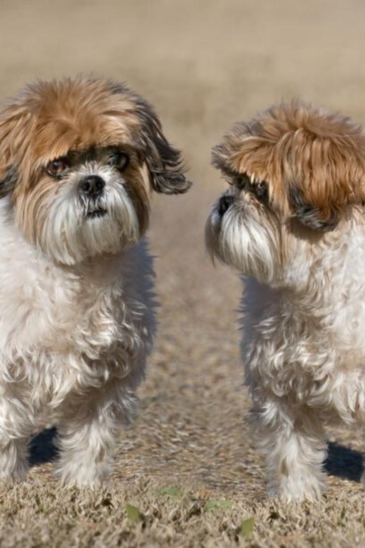 Two Shih Tzu Dogs Shihtzu Shih Tzu Dog Shih Tzu Shih Tzus