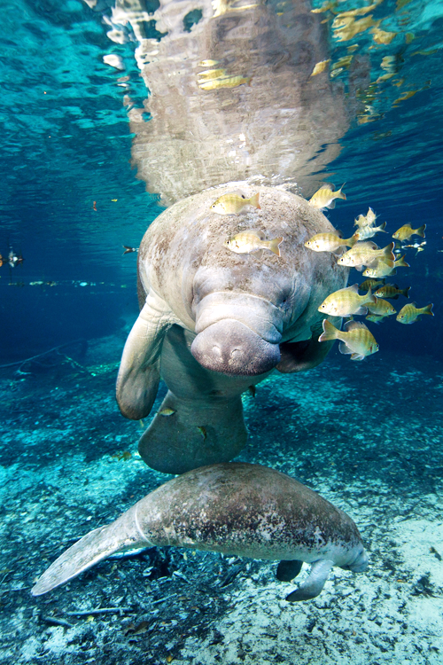 West Indian Manatees Crystal River, Florida Sea cow