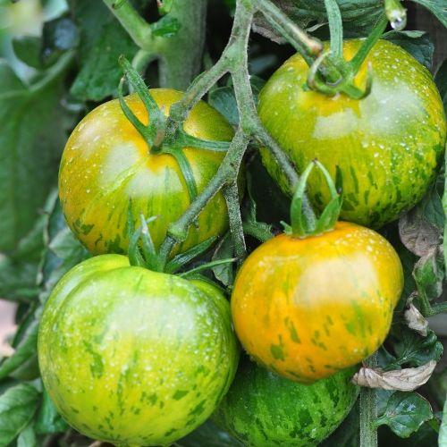 Les Meilleures Varietes De Tomates Tomate Green Zebra Tomates