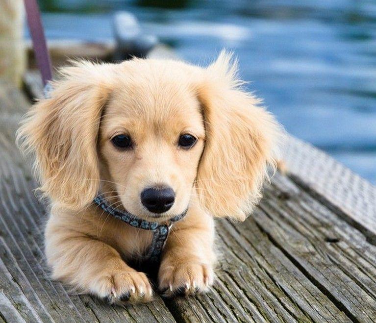 Shaded Cream Long Haired Dachshund Dachshund Puppy Daschund