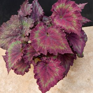Begonia 'Mike's Mauve' (Begonia rex hybrid)   >   Logees has the most unusual plants. I love those folks!