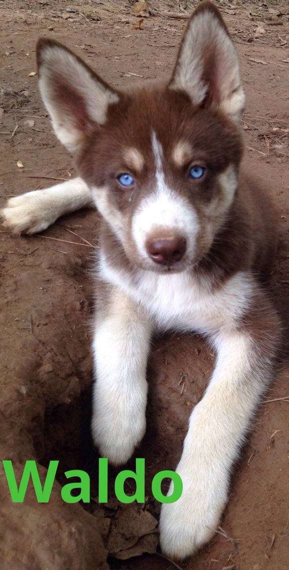 Chocolate Red Copper Whatever He S Beautiful Siberian Husky