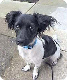 Surrey Bc Papillon Terrier Unknown Type Small Mix Meet Milo