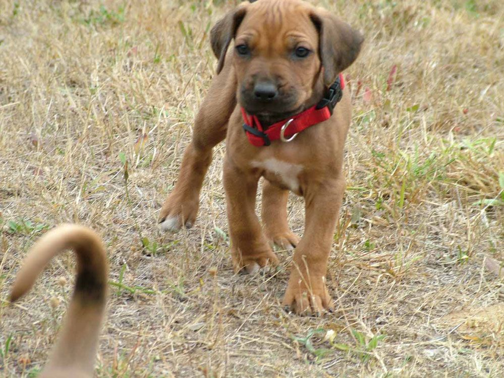 Popular Rhodesian Ridgeback Black Adorable Dog - 08ce9246db3467776c9546be7c6f6661  Best Photo Reference_14917  .jpg