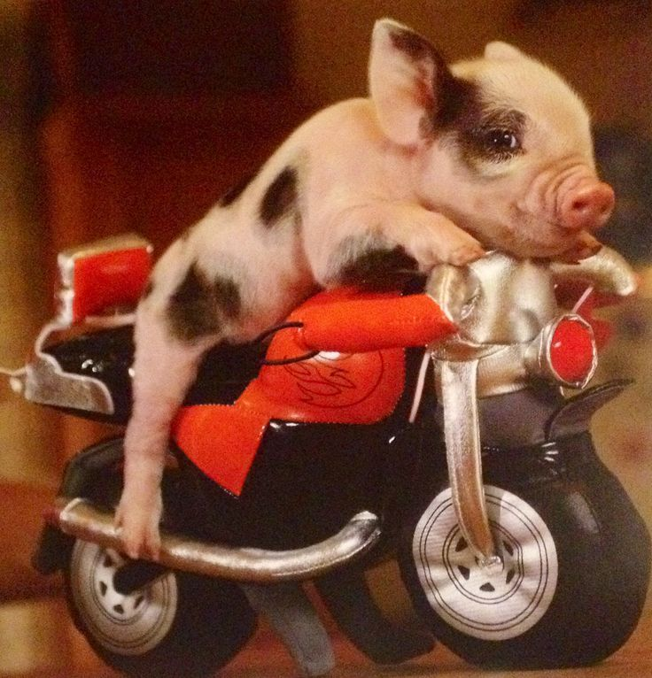 These 30 Adorable Pigs Are So Cute, You Might Go V