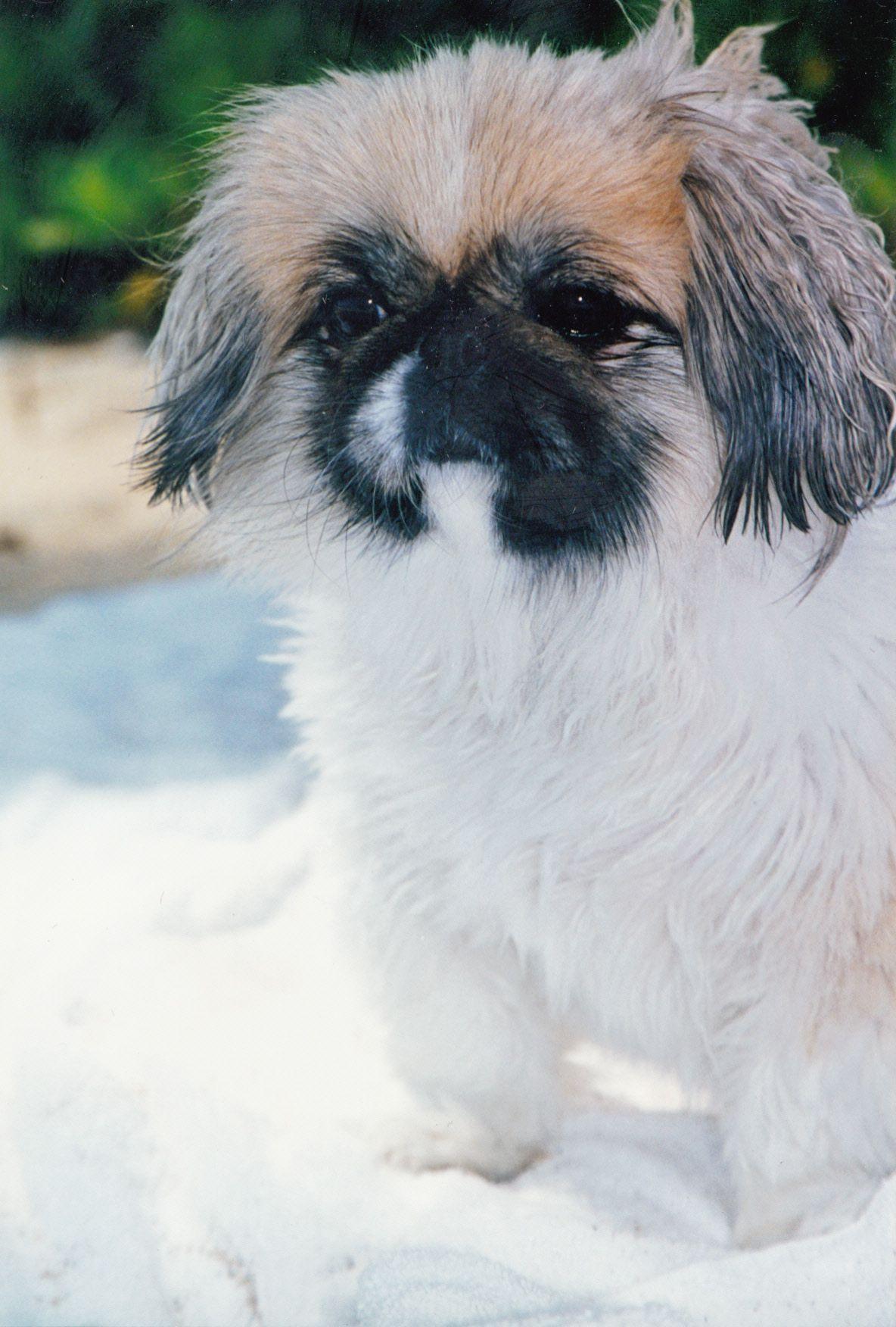 Waverly in Hawaii | Pekingese | Dogs, Cute dogs breeds, Pekingese
