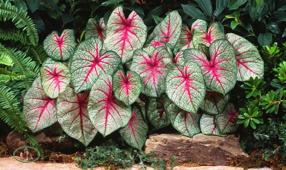 Caladium. Tubers are steamed or boiled as a vegetable
