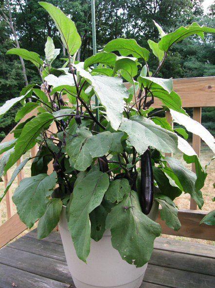 Eggplants Growing In Pot