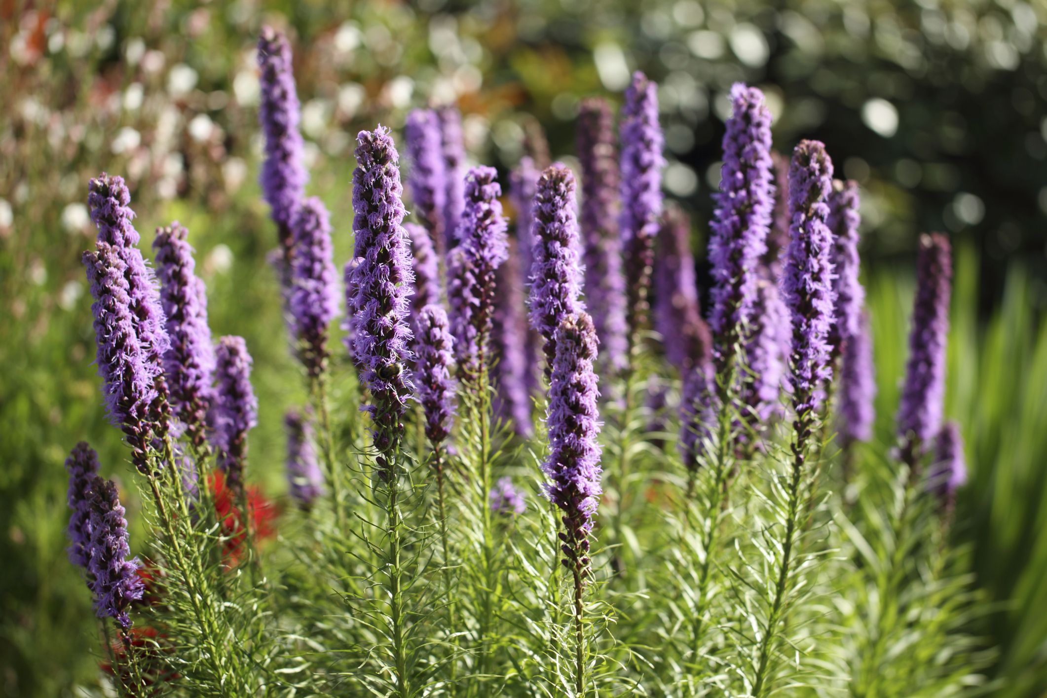 How To Plant Liatris Spicata Hunker Liatris Blazing Star Flower Plants