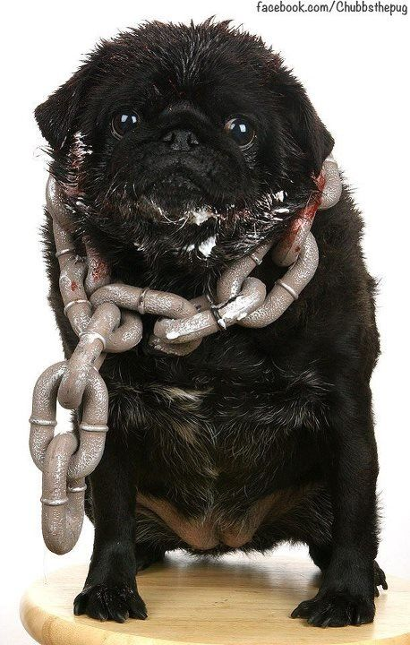 5320c0666e7 Chubbs the Wampug dressed as Cujo for Halloween. (Don t worry the chains  are hollow plastic)