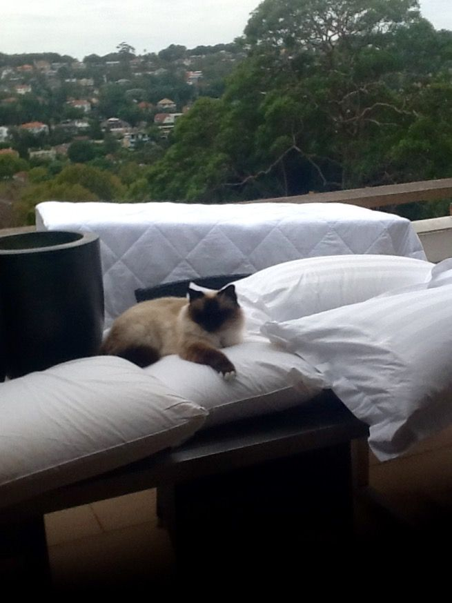 Bed linen airing day for Birman beauty | Birman Beauty | Pinterest