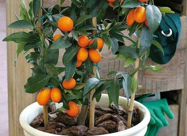 El Kumquat O Naranjo Chino Consejos De Jardinería Cultivar Macetas