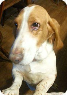 Lenoir City Tn Basset Hound Meet Kelly A Dog For Adoption