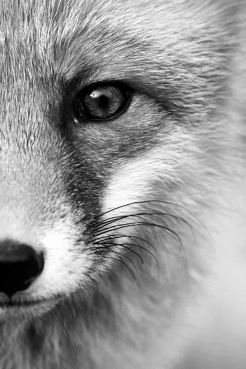 black & white fox face