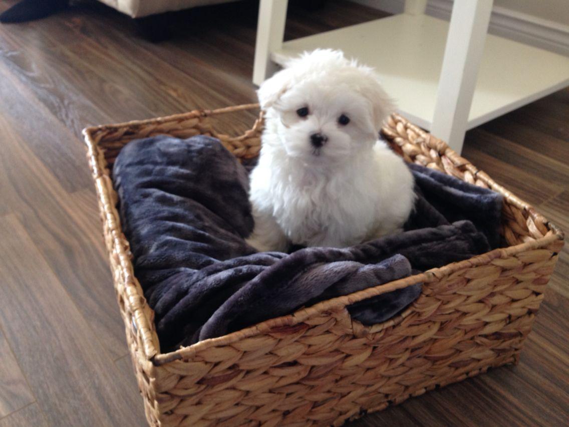 Maltese Puppy Boy Milo Xxo Puppies Maltese Dogs Maltese