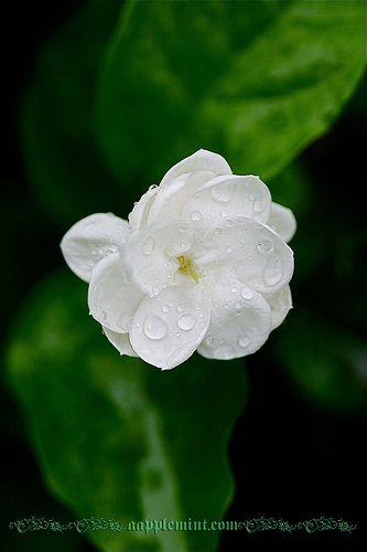 Jasmine Flower | weiße Blumen und Blumen