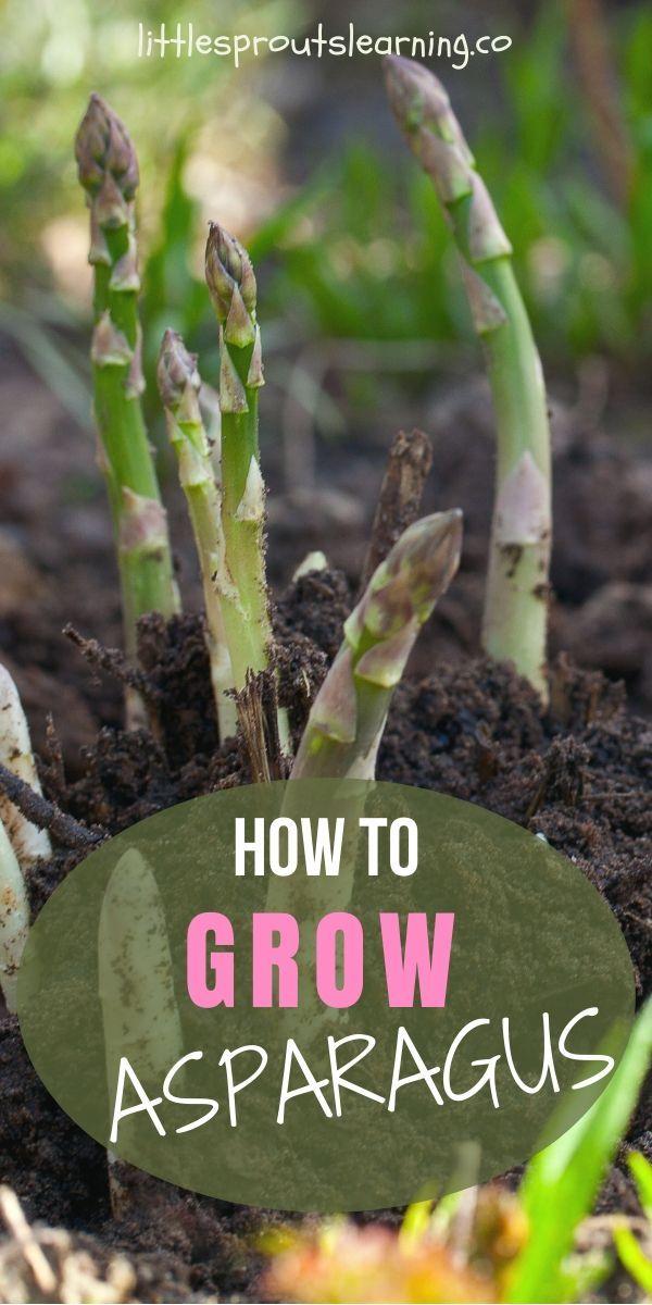 How to Grow Asparagus at Home! – Growing asparagus