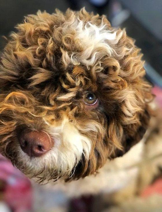 Cal breeder having puppies some 3/2018 Lagotto romagnolo