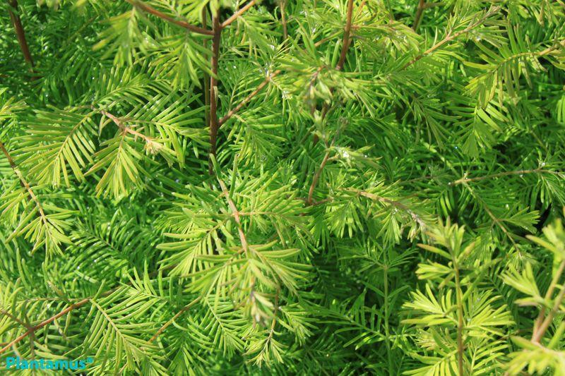 Metasequoia    wwwplantamuses ARBOLES-ARBUSTOS venta-de