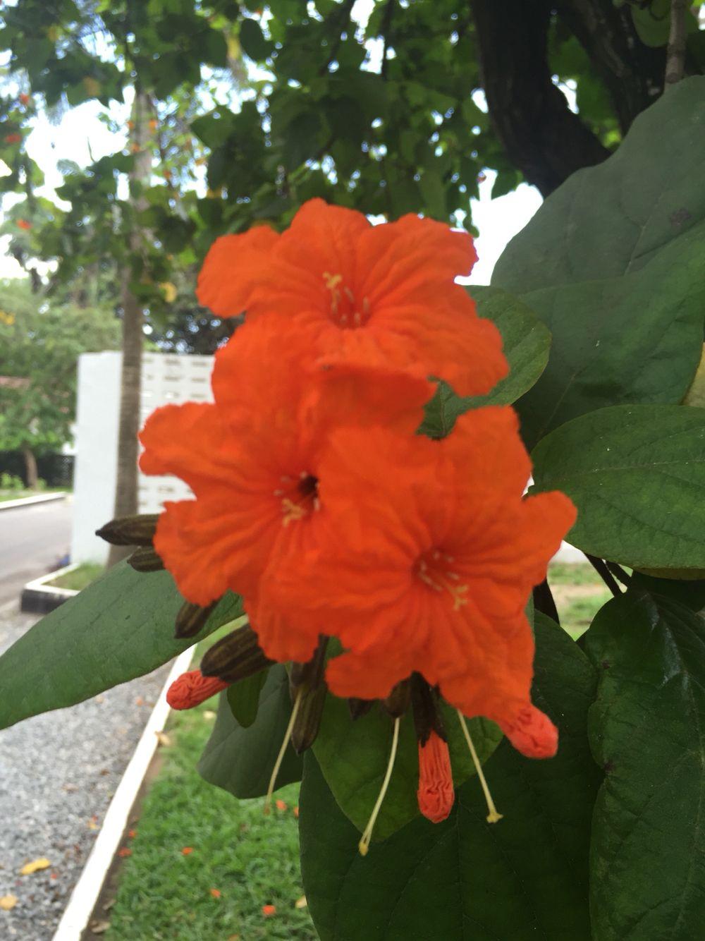 Stunning Orange Flower In Accra Ghana Orange Flowers Paper Flowers Flowers
