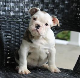 New Holland Pa English Bulldog Puppies For Sale Lancaster Puppies