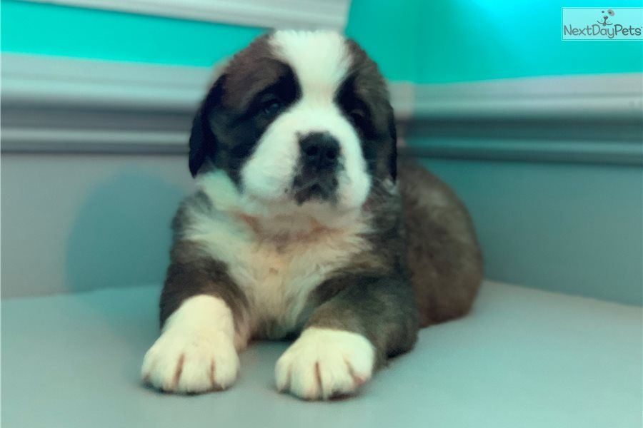 Saint Bernard St Bernard Puppy For Sale Near Fayetteville
