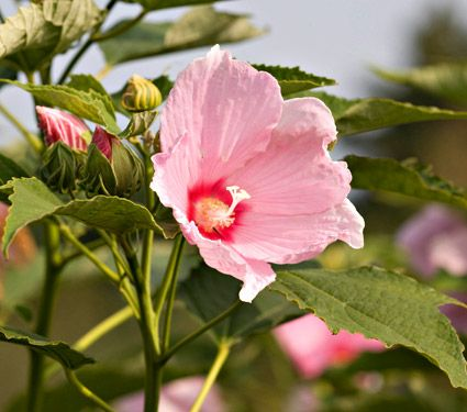 New Hibiscus Moscheutos White Flower Farm Gate White Flower Farm Flowers Hibiscus