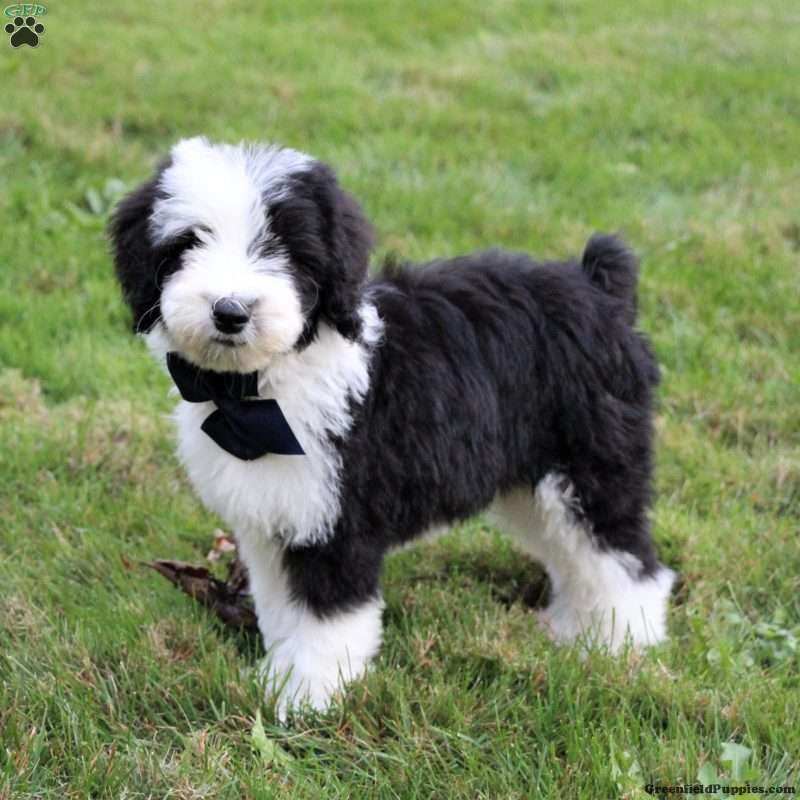 Sheepadoodle Puppies for Sale | Greenfield Puppies