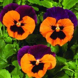 Pansy How To Grow Care Pansies Flowers Flower Seeds Pansies