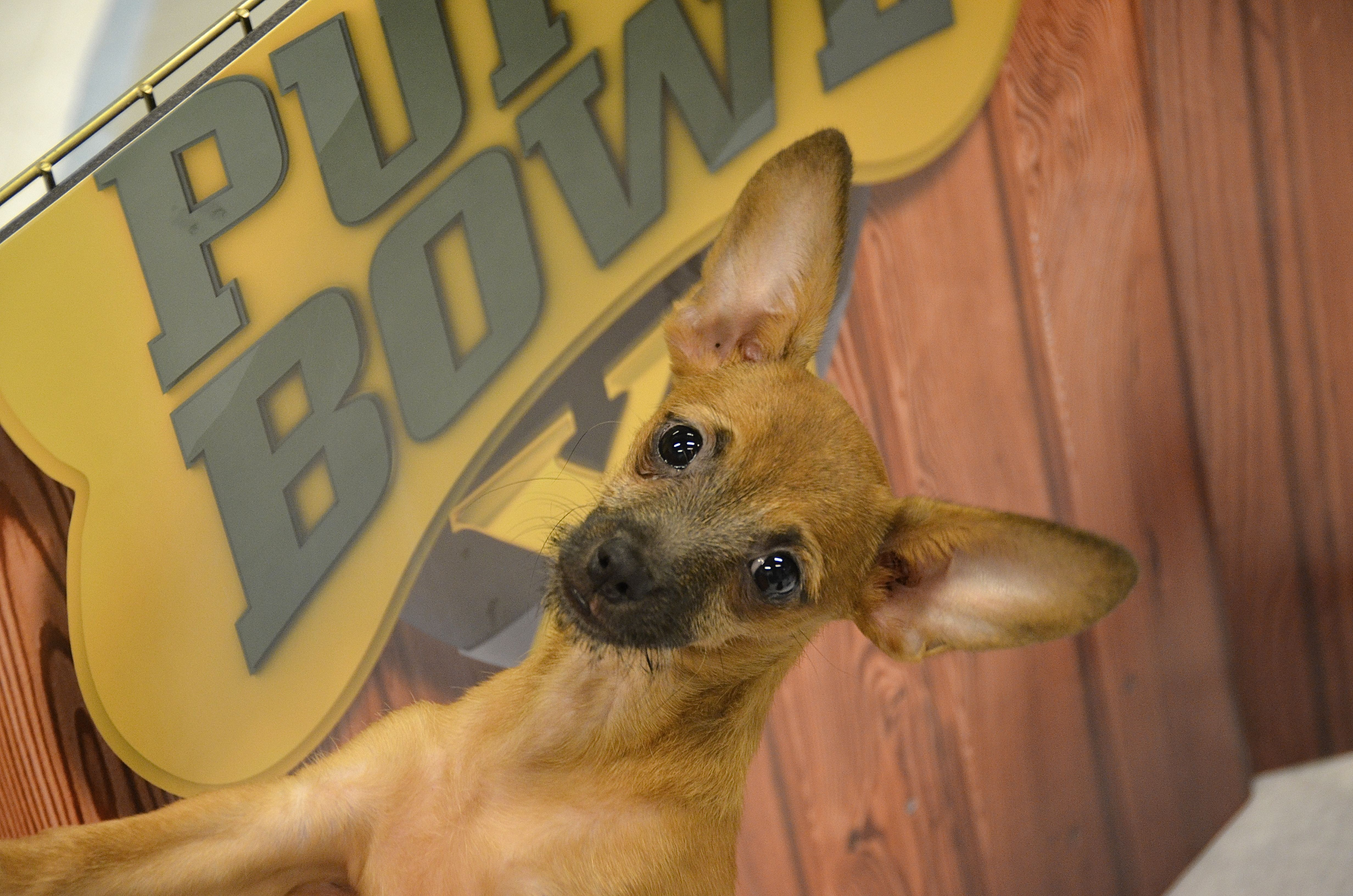 Steve The Chihuahua Mix From Florida Little Dog Rescue Puppybowl