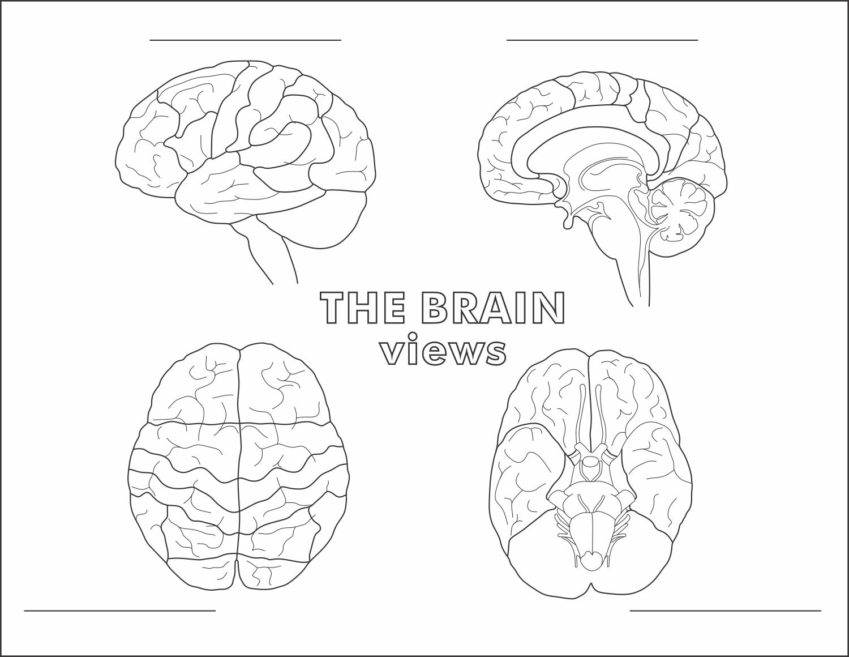 Labeled Diagram Of The Nervous System Koibana Info Brain Diagram Human Brain Anatomy Brain Anatomy [ 1300 x 1300 Pixel ]