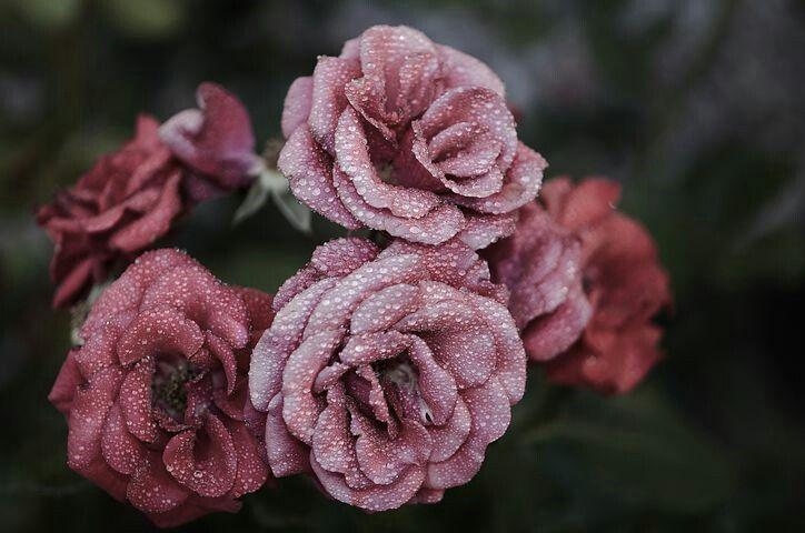Rosen mit Tau