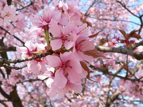 quadros com flor de cerejeira - Pesquisa Google