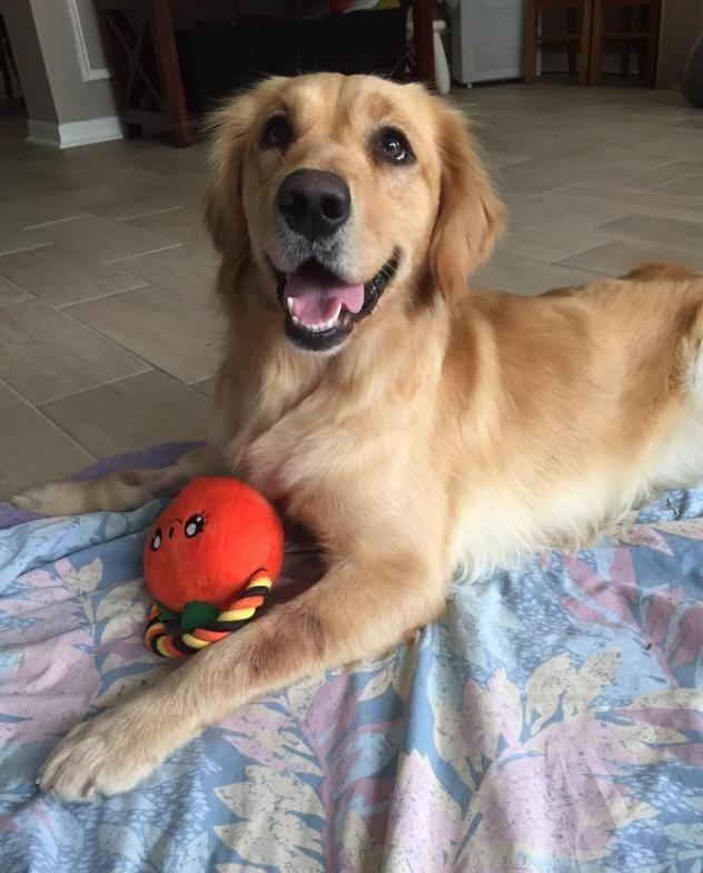 Adopt Dolly On Golden Retriever Rescue Dogs Golden Retriever