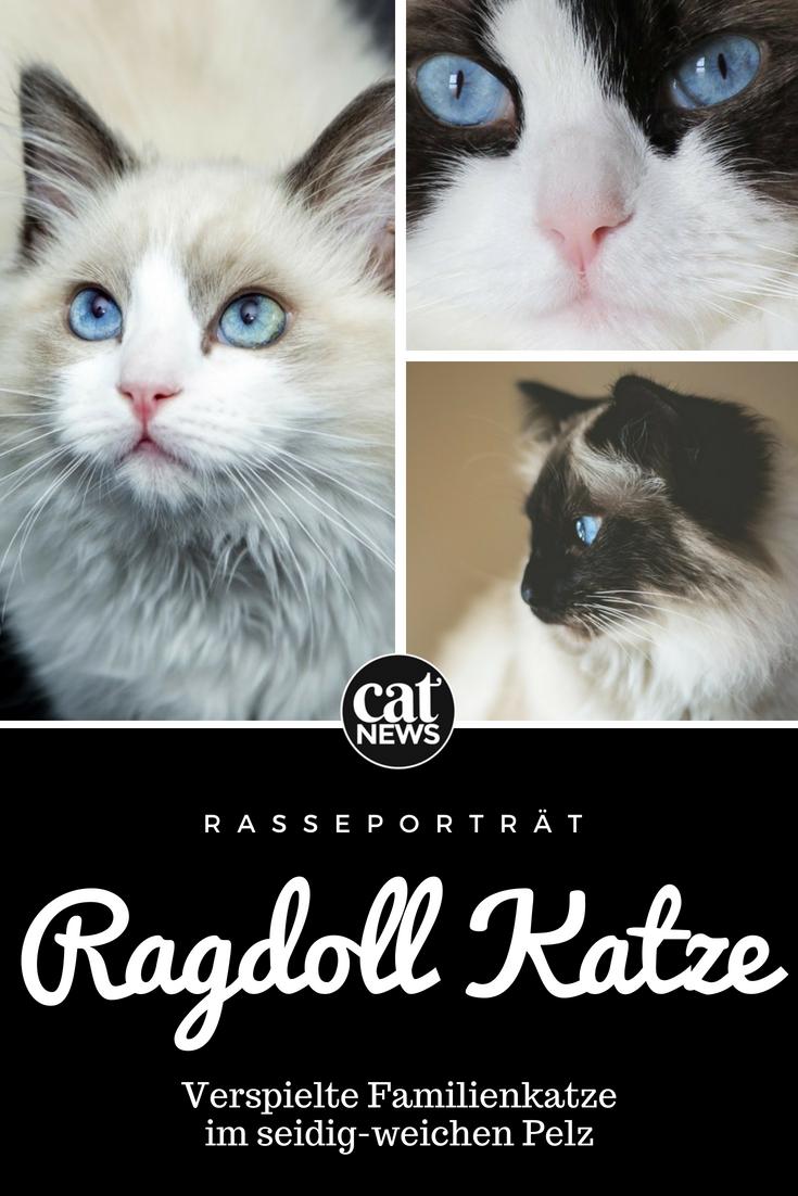 Die Ragdoll Katze Verspielte Familienkatze Im Seidig Weichen Pelz Katzen Langhaarige Katzen Ragdoll Katzen