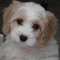 F1 Cavachon Puppies For Sale In Cheshire North West Dogs And