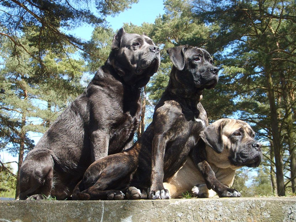 Cane Corso Wallpapers Fun Animals Wiki Videos Pictures Stories Dog Breed Info Dog Breeds Guard Dog Breeds
