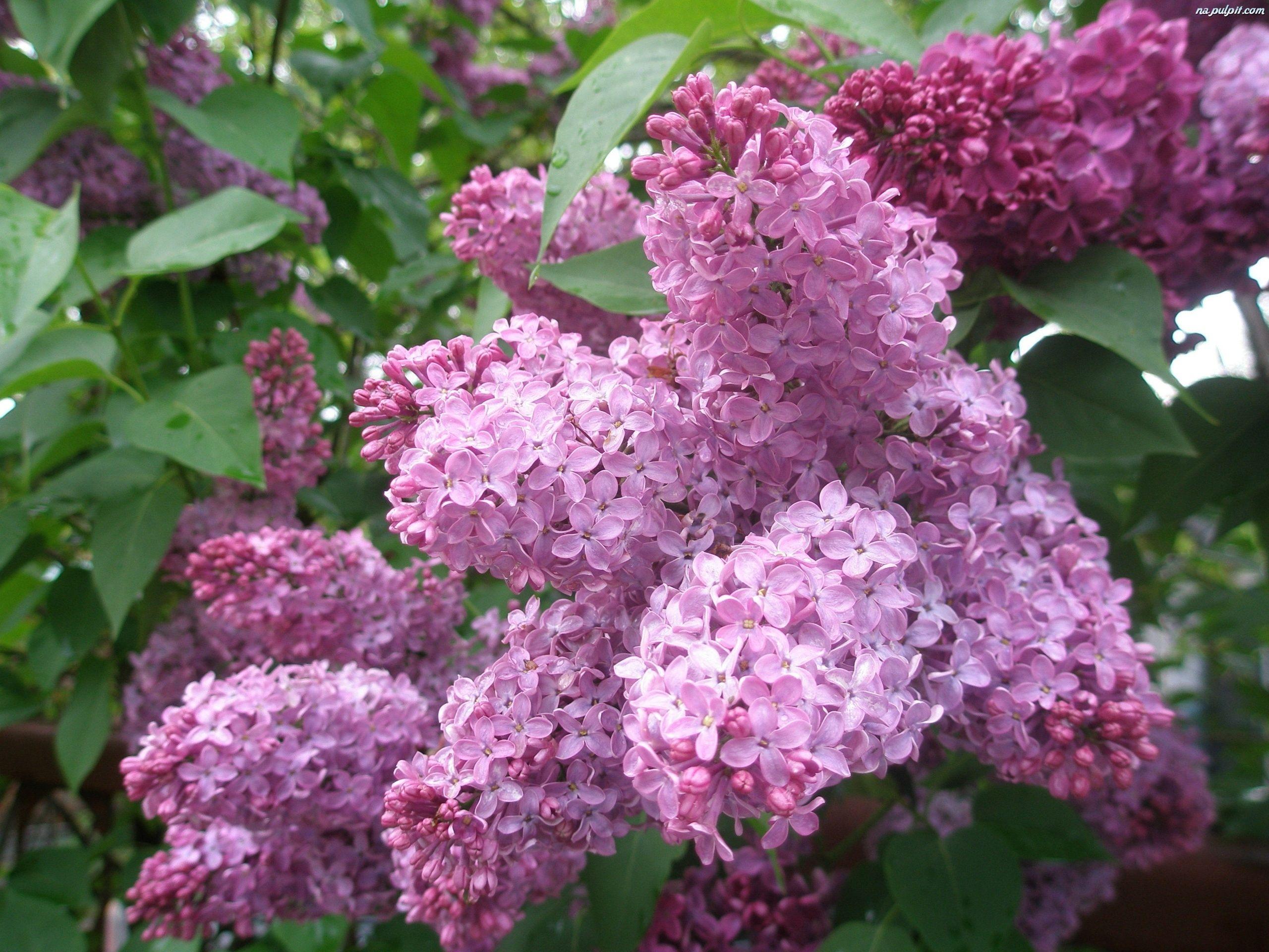 Wiosna Shrubs Lilac Spring Wallpaper