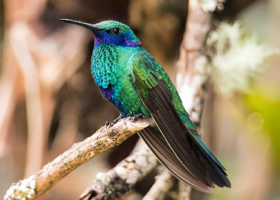 Colibri Coruscans Y Su Linda Combinacion De Verde Violeta Y Azul
