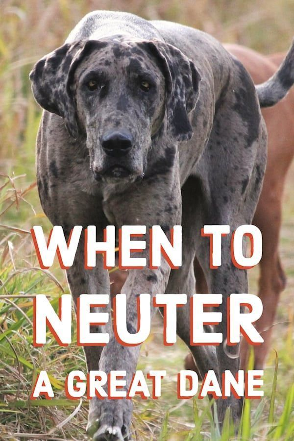 Not Sure When To Neuter Your Great Dane This Article Covers The